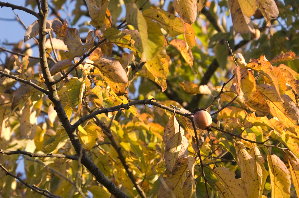 An American Persimmon Diospyros virginiana tree bearing fruit in the fall. The color of the tree's leaves are yellow because of the decrease in chlorophyll. WikiMedia